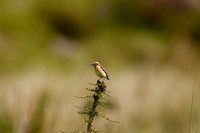 Whinchat.